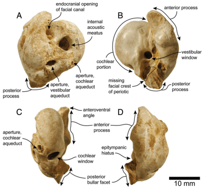 Just out | A dolphin fossil ear bone from the northern Neotropics ...