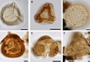 Just out |  Two fossil species of Metrosideros (Myrtaceae) from the Oligo-Miocene Golden Fleece locality in Tasmania, Australia @ American Journal of Botany