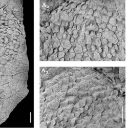 Just out | The diploporite blastozoan Lepidocalix pulcher from the Middle Ordovician of northern Algeria: Taxonomic revision and palaeoecological implications @ Acta Palaeontologica Polonica