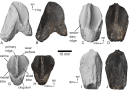 On the News | USA | A dinosaur tooth discovered in Appalachia suggests big horned dinosaurs may have lived in the eastern US @ Business Insider
