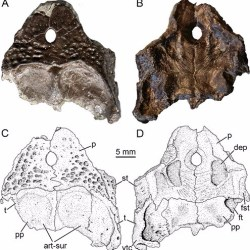 Just out | Skull and postcranium of the bystrowianid Bystrowiella schumanni from the Middle Triassic of Germany, and the position of chroniosuchians within Tetrapoda @ Journal of Systematic Palaeontology