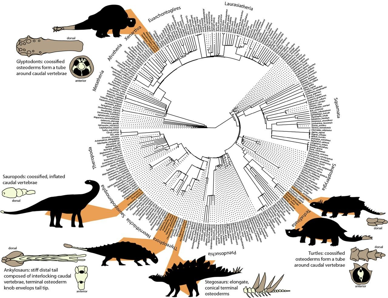 Just out | The evolution of tail weaponization in amniotes @ Proceedings of the Royal Society B