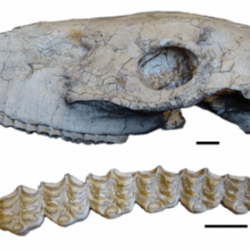 Just out | Sivalhuppus ptychodus and Sivalhippus platyodus (Perissodactyla,Mammalia) from the Late Miocene of China @ Rivista Italiana di Paleontologia e Stratigrafia