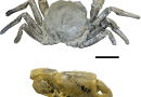 Just out   Late Cretaceous marine arthropods relied on terrestrial organic matter as a food source: Geochemical evidence from the Coon Creek Lagerstätte in the Mississippi Embayment @Geobiology