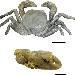 Just out | Late Cretaceous marine arthropods relied on terrestrial organic matter as a food source: Geochemical evidence from the Coon Creek Lagerstätte in the Mississippi Embayment @ Geobiology