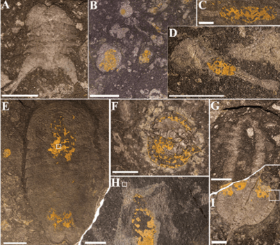 Just out | Characterization of kerogenous films and taphonomic modes of the Sirius Passet Lagerstätte, Greenland @ Geology