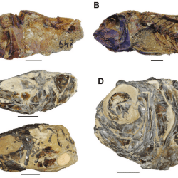 Just out | Computed tomography scanning as a tool for linking the skeletal and otolith-based fossil records of teleost fishes @ Palaeontology