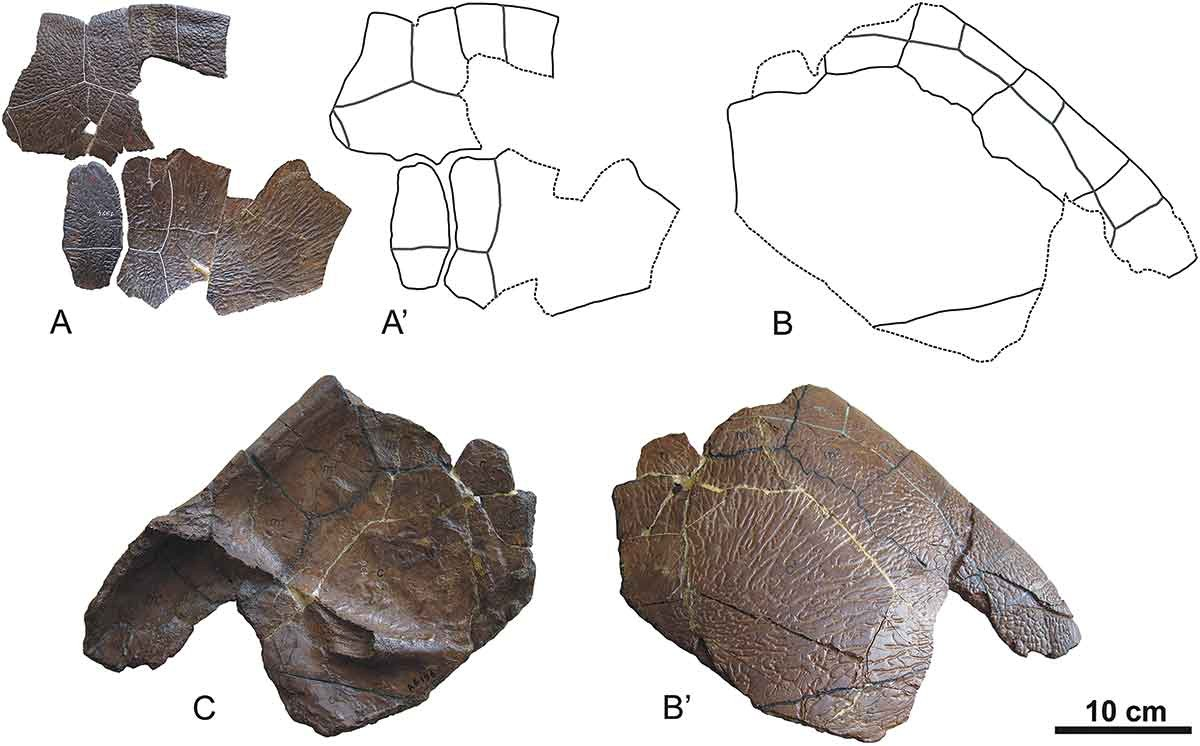 Just Out Shell Anatomy Of The African Paleocene Bothremydid Turtle