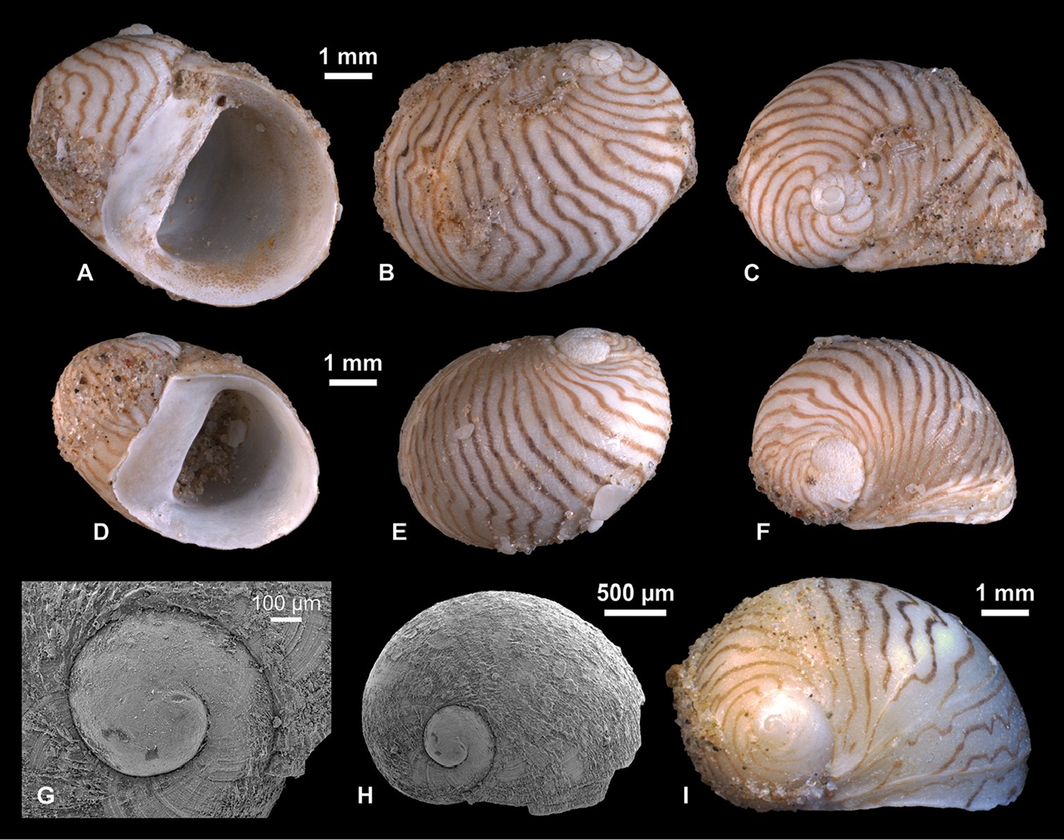 just out a late pleistocene gastropod fauna from the northern