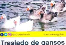 traslado de gansos