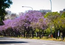 La ciudad se engalana con las flores de los Jacarandás