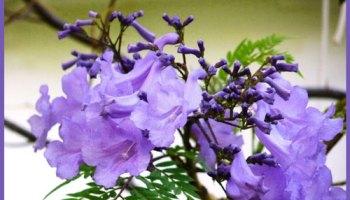 Jacarandás en flor dan color a la Ciudad - Palermo Mio