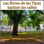 Las flores de las tipas hacen alfombras en calles y parques