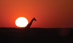 20-Giraffe at sunset