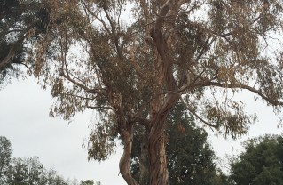 This eucalyptus tree at the Recreation Center is dead and will be removed.