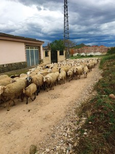 Sometimes sheep were fellow travelers on the Camino de Santiago. Photo: Carol Sanborn