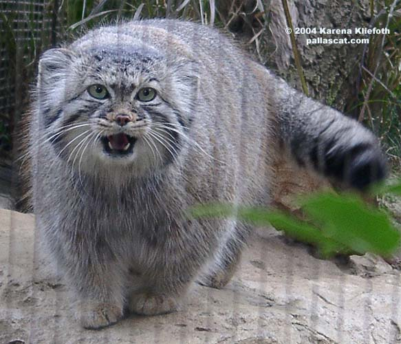 Photos of Pallas Cats page 7