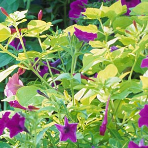 Four O'Clocks (Mirabilis jalapa)
