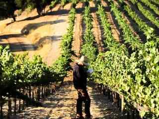 Harvest Interns in the Vineyards