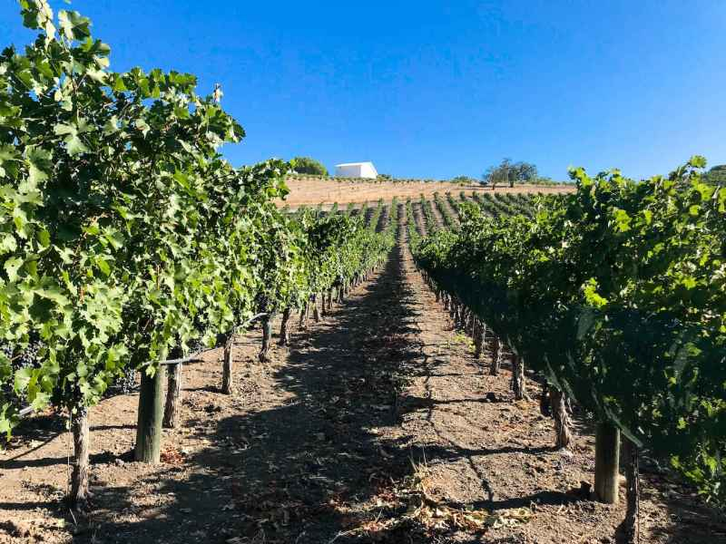 Rows of Cabernet Sauvignon in Adelaida's Upper Viking Vineyard