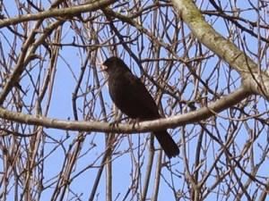 Blackbird picture Africa Gomez