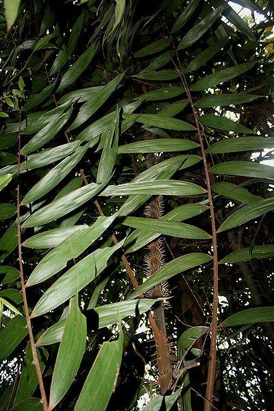 Myrialepis paradoxa  Palmpedia  Palm Growers Guide