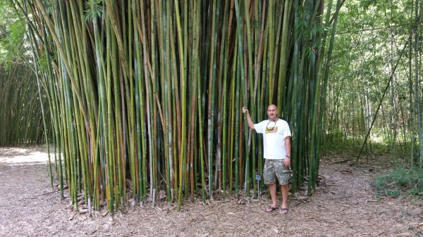 bamboo olhamii disaster waiting