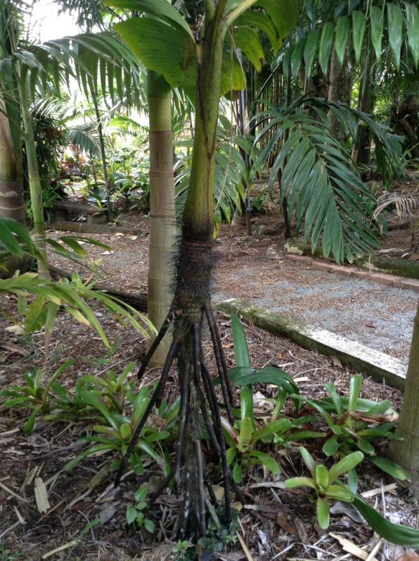 Stilt Roots - Discussing Palm Trees Worldwide Palmtalk