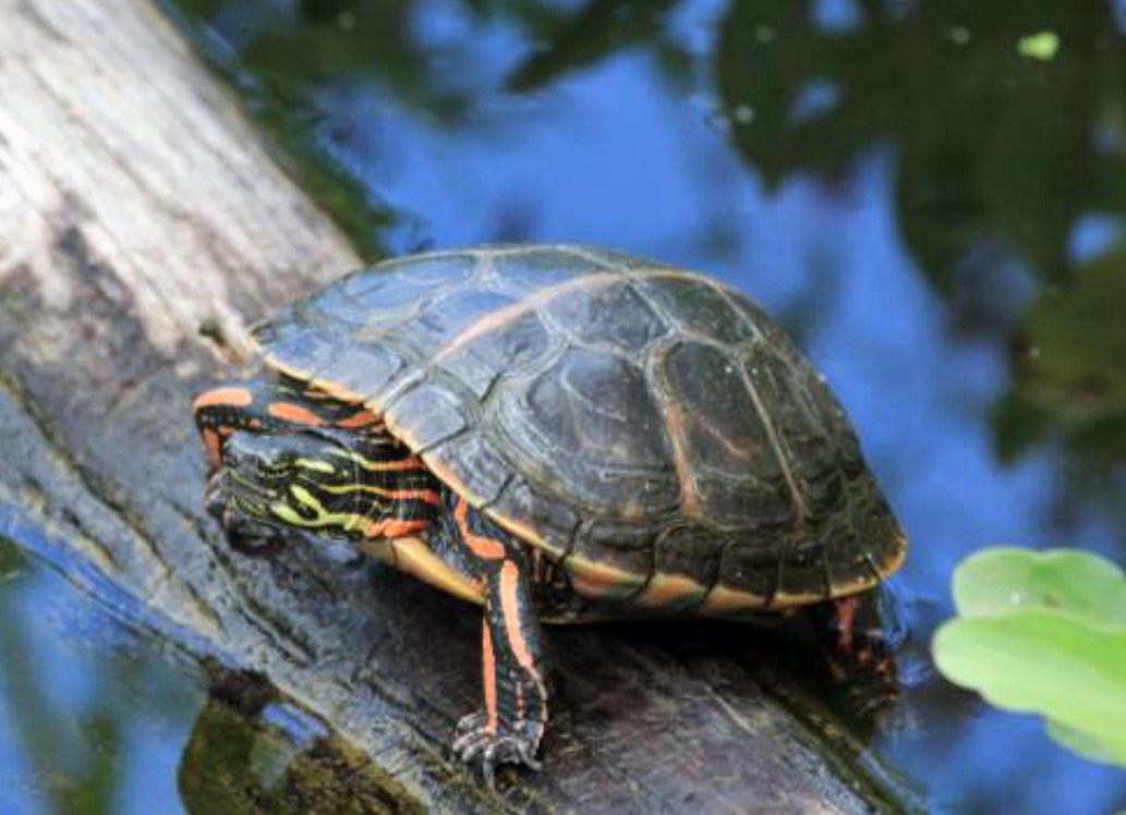 SIGS 烏龜飼育小冊(20):澤龜的越冬 - 沼澤缸之家