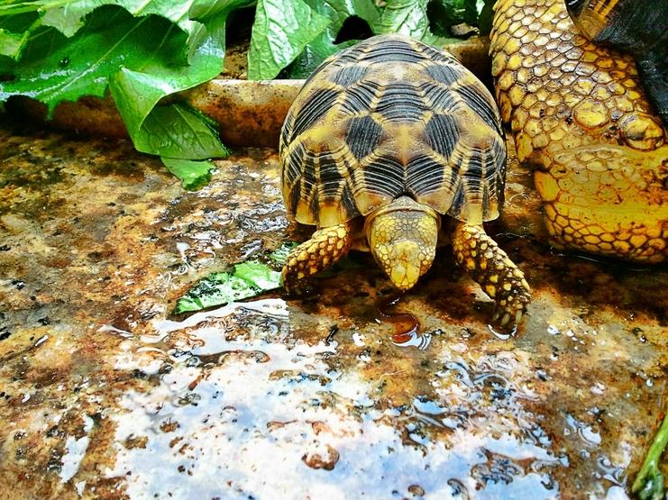 納米比亞小豹龜對色彩的選擇 - 沼澤缸之家