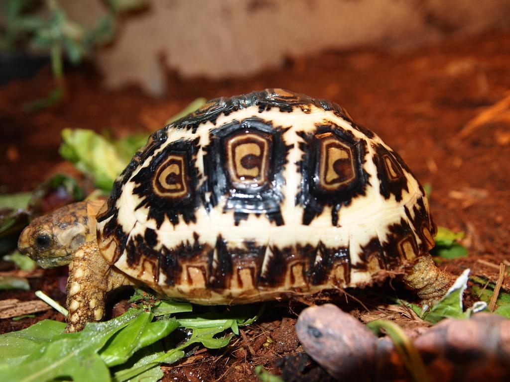 東部豹龜在高濕度環境下的生長速率 - 沼澤缸之家