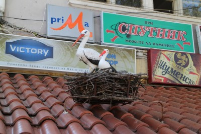 These Storks obviously aren't real but they have become a bit of an icon for the town, so advertising them is very useful for the tourist trade :-)