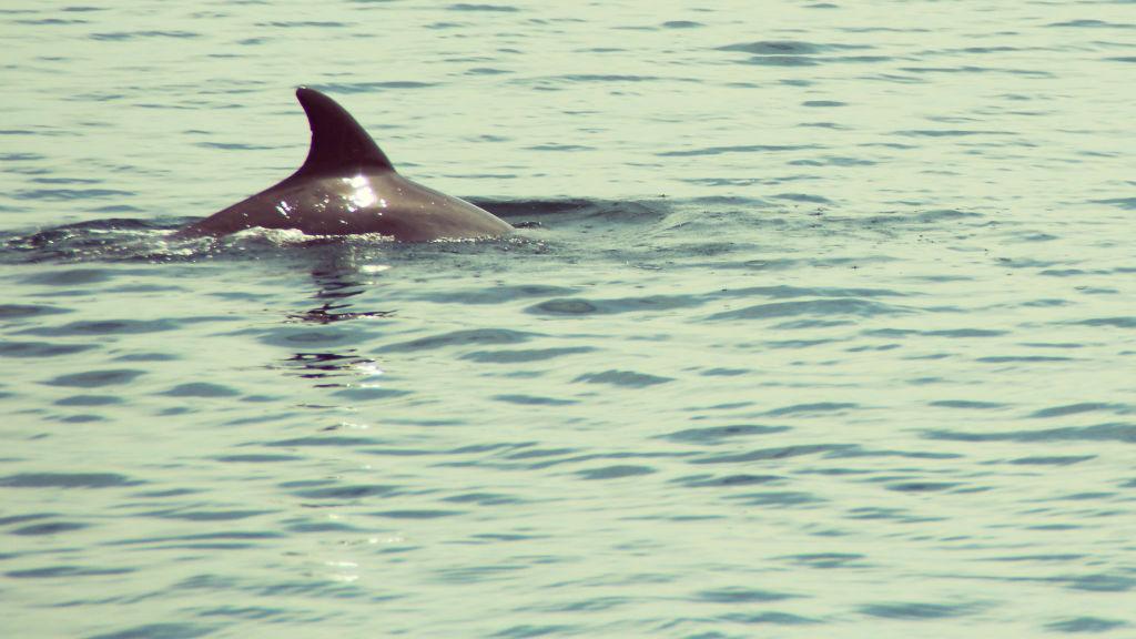 Delphine beobachten in der Dolphin Bay