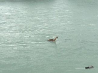 Guanaco im Fluss