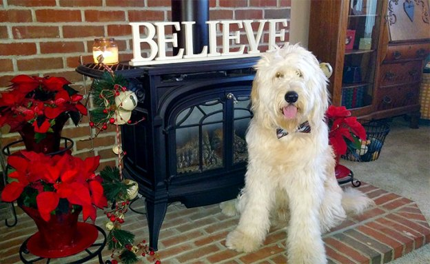The intelligence and gentle demeanor of golden doodles make them an ideal therapy dog.