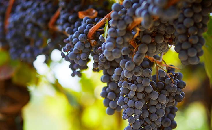 Purple grapes can be an immune-healthy food choice for pancreatic cancer patients