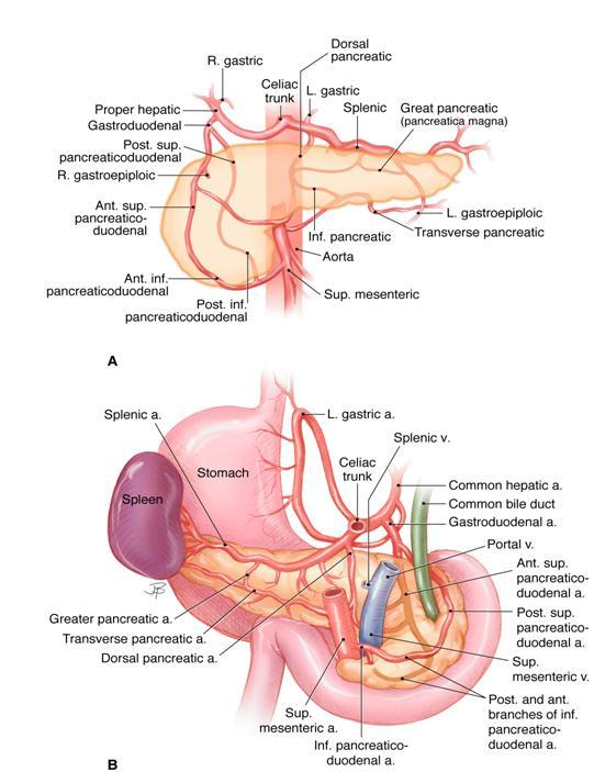 mouse dissection diagram residential electrical wiring diagrams pdf anatomy and histology of the pancreas pancreapedia figure 7 arterial blood supply upper panel a is visualized from front lower b seen back