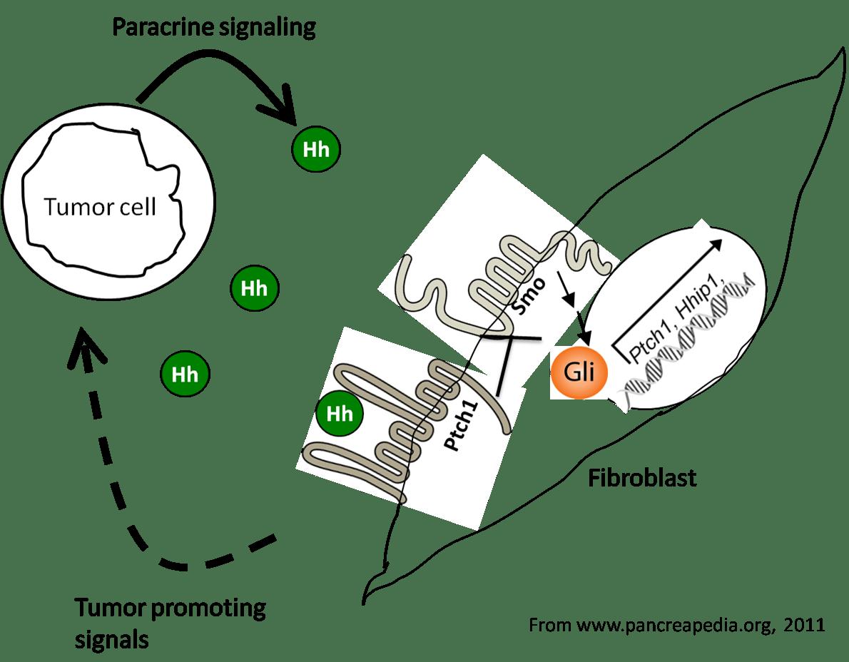 Hedgehog Signaling