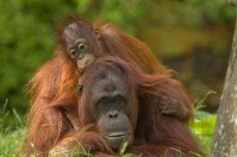 Orangutan press