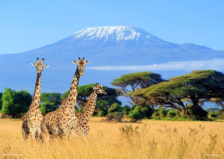 Giraffes with Mount Kilimanjaro in the background. Kilimanjaro National Park, Tanzania