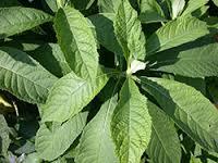 bitter-leaf-teh-afrika