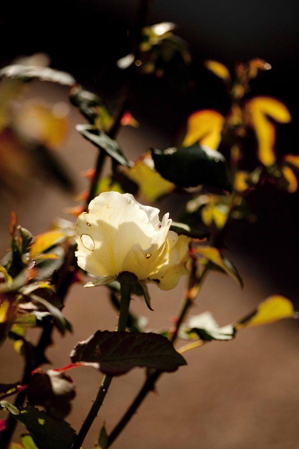 Les roses de Huguette Brard 1