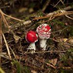 Les champignons de la forêt des Andaines, Bagnoles de l'Orne (Normandie)