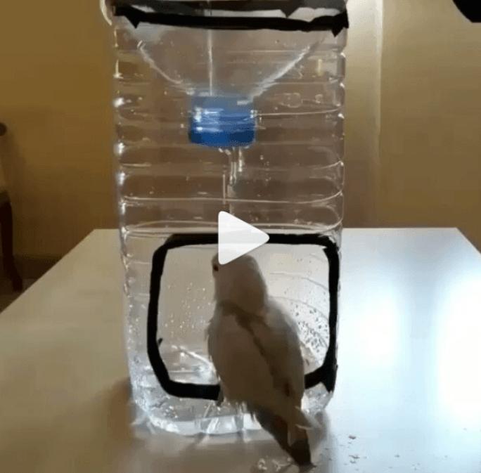 Fågeldusch, bad av petflaska