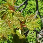 Tysklönn eller sykomorlönn (Acer pseudoplatanus)