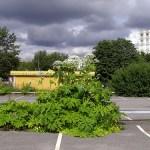 Anmäl till kommunen om du upptäcker Jättebjörnloka (Heracleum mantegazzianum)