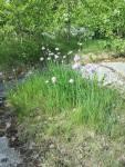 Vild gräslök