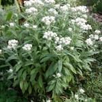 Tips på vacker växt som tål torka