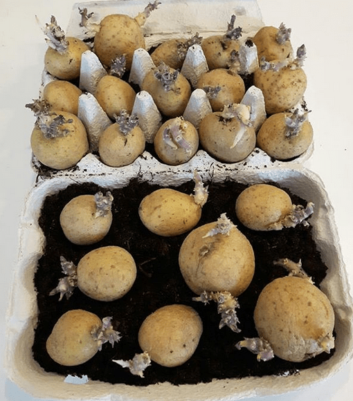 sättpotatis förgro potatis