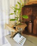 Ge bort en citronplanta